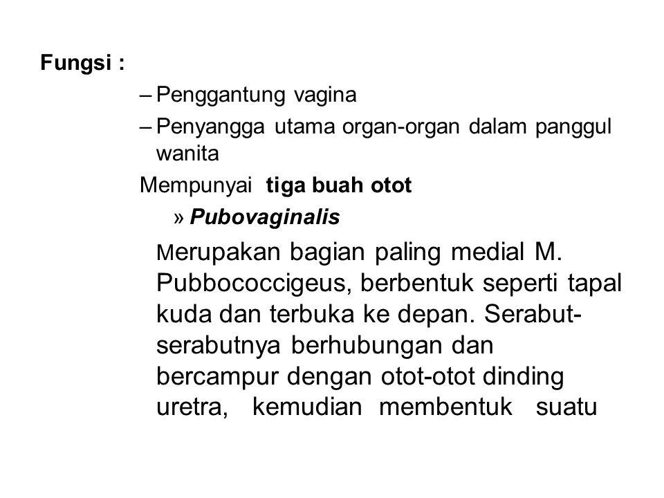 Fungsi : Penggantung vagina. Penyangga utama organ-organ dalam panggul wanita. Mempunyai tiga buah otot.