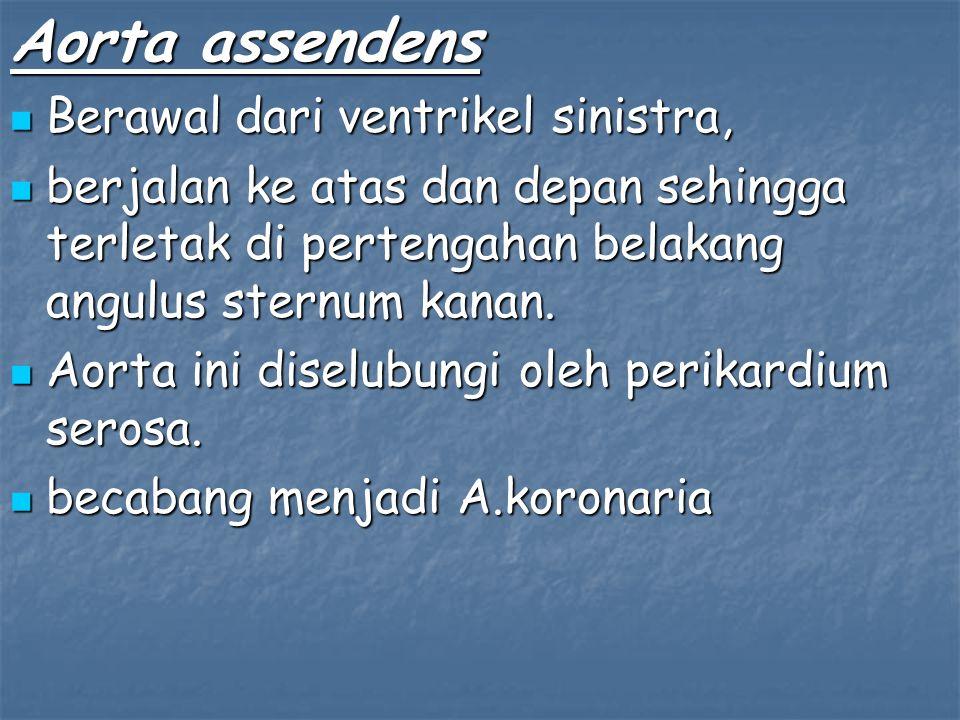 Aorta assendens Berawal dari ventrikel sinistra,