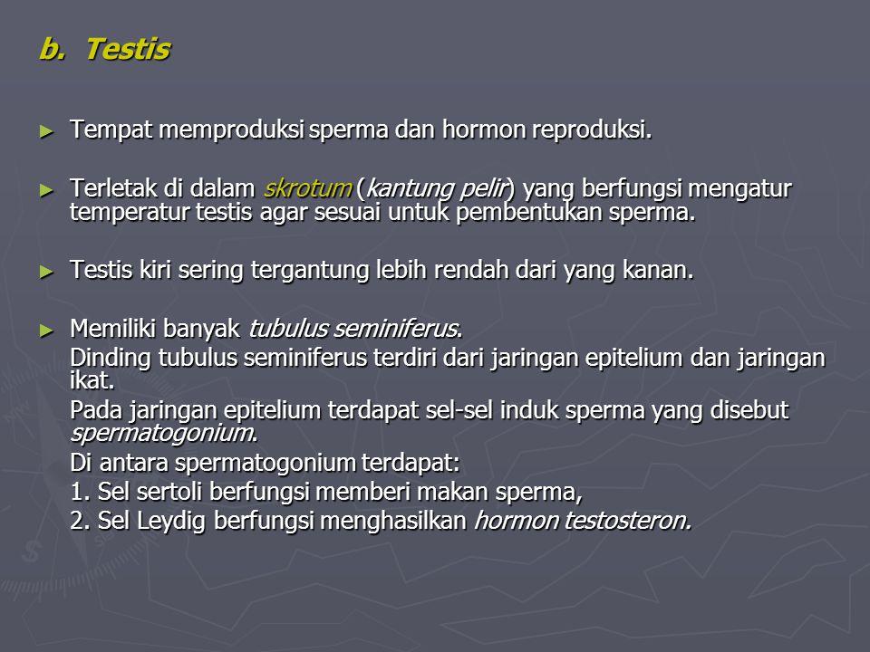 b. Testis Tempat memproduksi sperma dan hormon reproduksi.