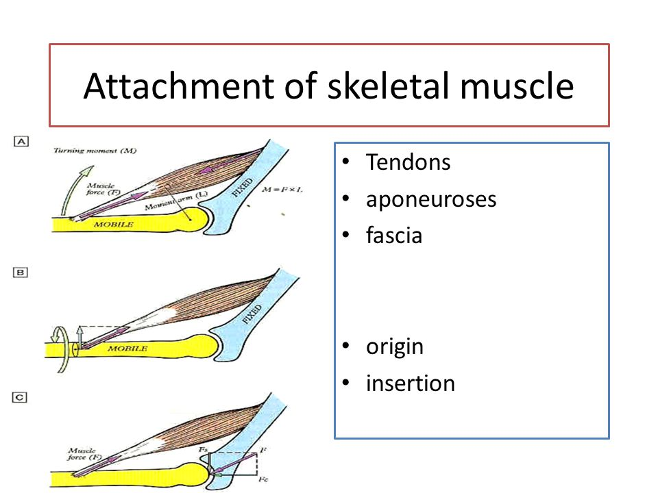 Attachment of skeletal muscle