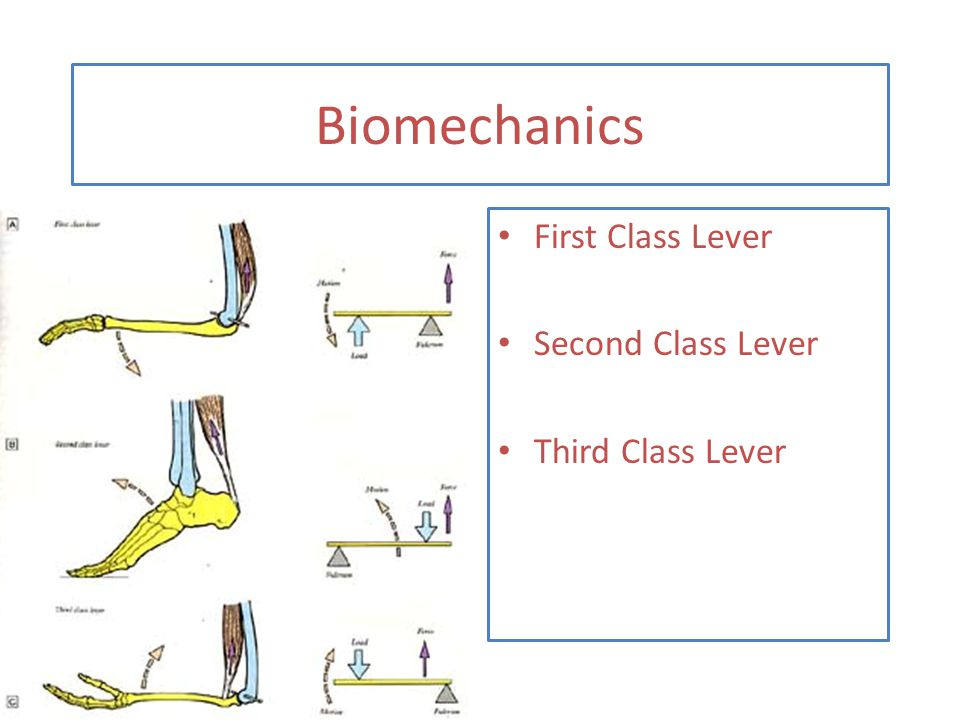 Biomechanics First Class Lever Second Class Lever Third Class Lever