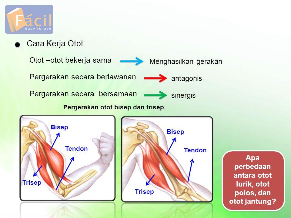 Cara Kerja Otot Otot –otot bekerja sama Pergerakan secara berlawanan