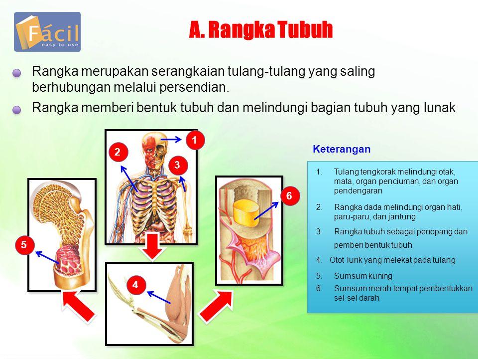 A. Rangka Tubuh Rangka merupakan serangkaian tulang-tulang yang saling berhubungan melalui persendian.