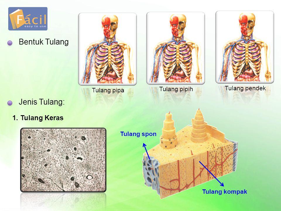 Bentuk Tulang Jenis Tulang: 1. Tulang Keras Tulang pendek Tulang pipih