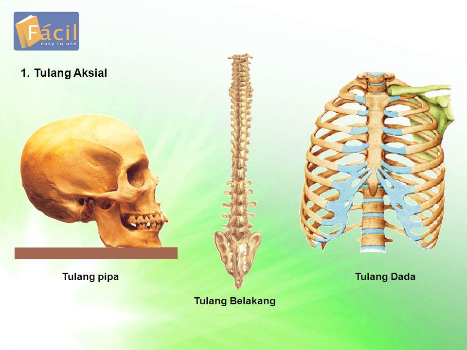 1. Tulang Aksial Tulang pipa Tulang Dada Tulang Belakang