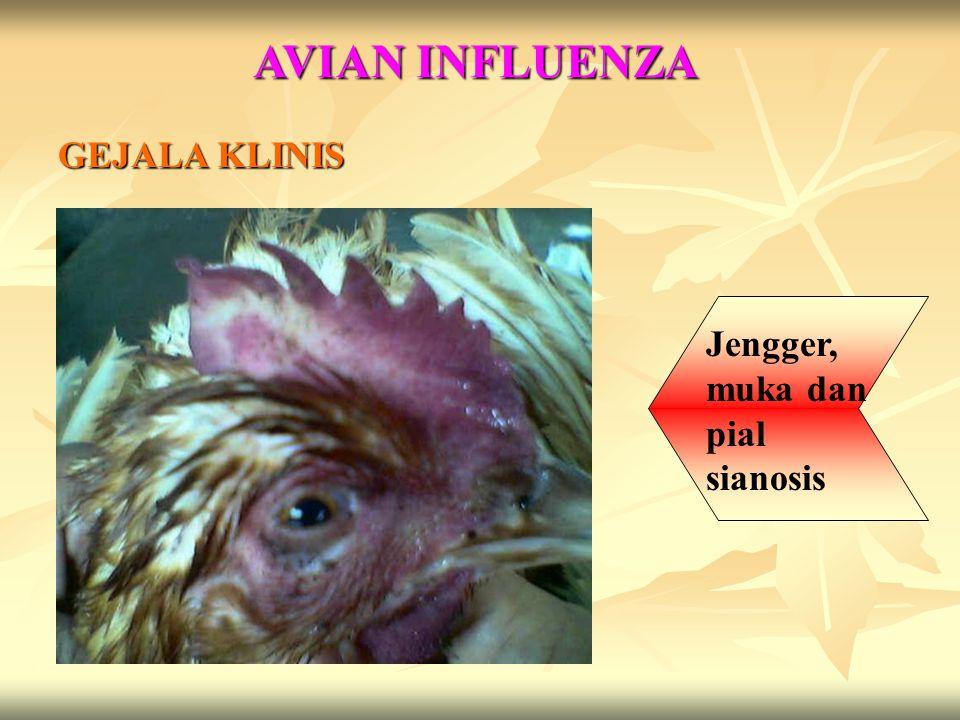 AVIAN INFLUENZA GEJALA KLINIS Jengger, muka dan pial sianosis