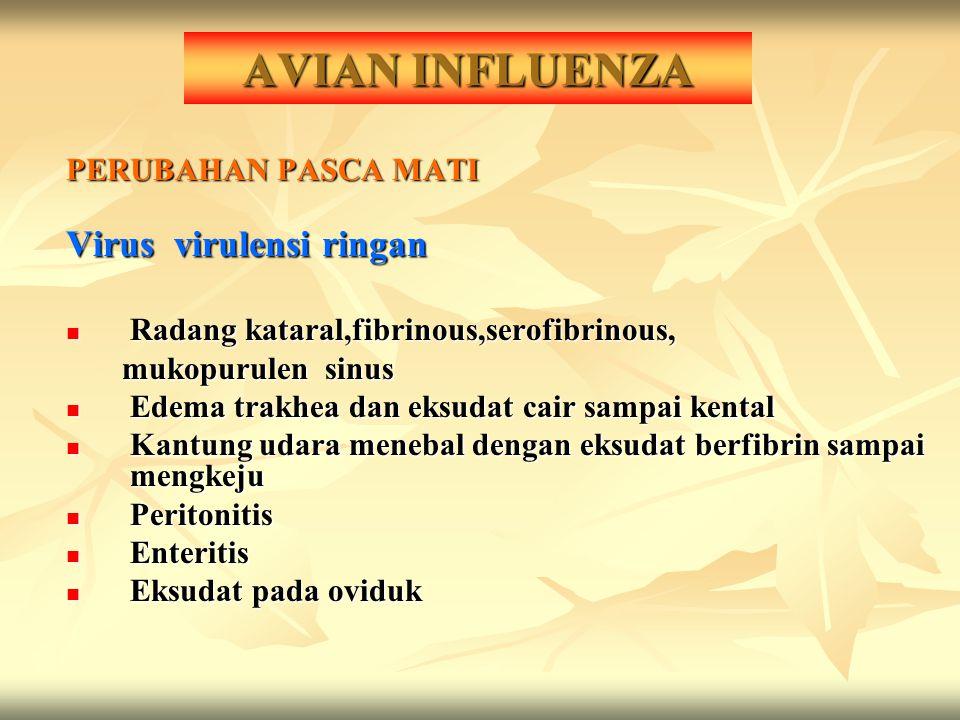 AVIAN INFLUENZA Virus virulensi ringan PERUBAHAN PASCA MATI