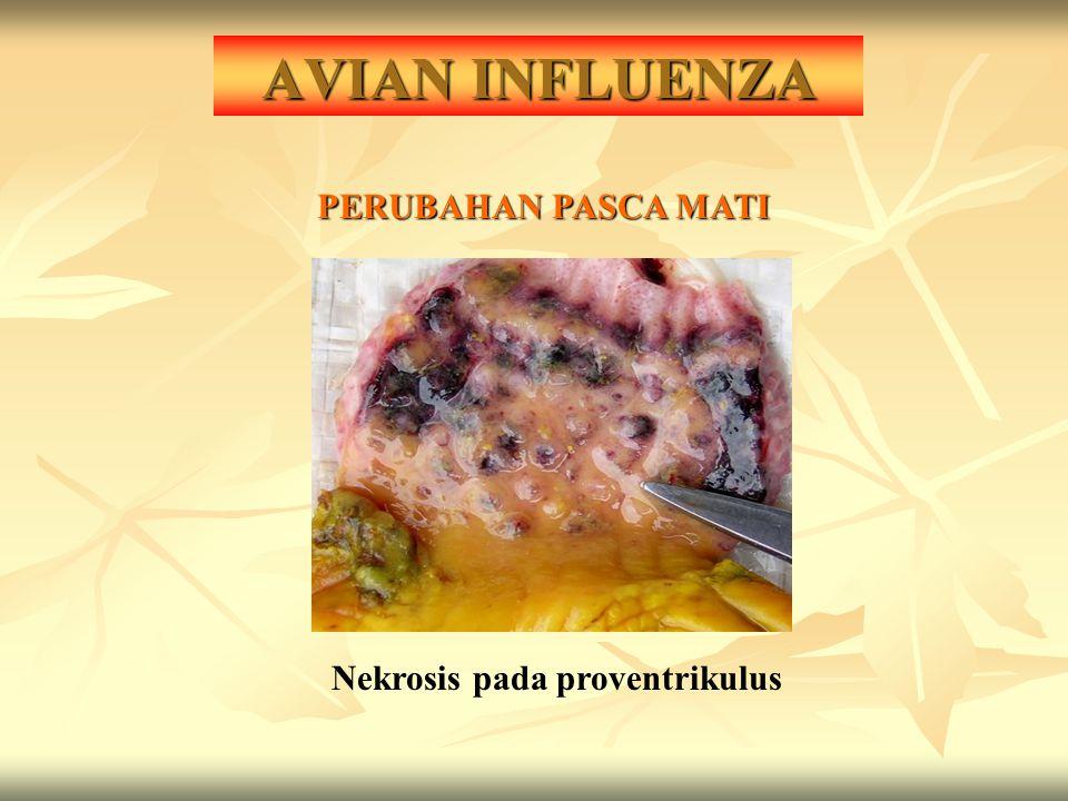 AVIAN INFLUENZA PERUBAHAN PASCA MATI Nekrosis pada proventrikulus