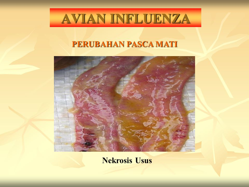 AVIAN INFLUENZA PERUBAHAN PASCA MATI Nekrosis Usus