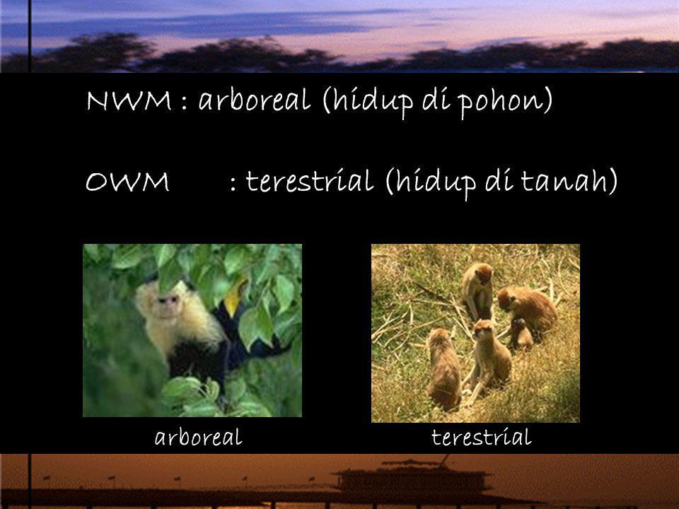 NWM : arboreal (hidup di pohon) OWM : terestrial (hidup di tanah)