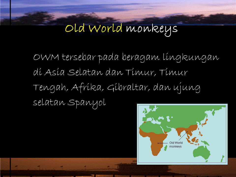 Old World monkeys OWM tersebar pada beragam lingkungan di Asia Selatan dan Timur, Timur Tengah, Afrika, Gibraltar, dan ujung selatan Spanyol.