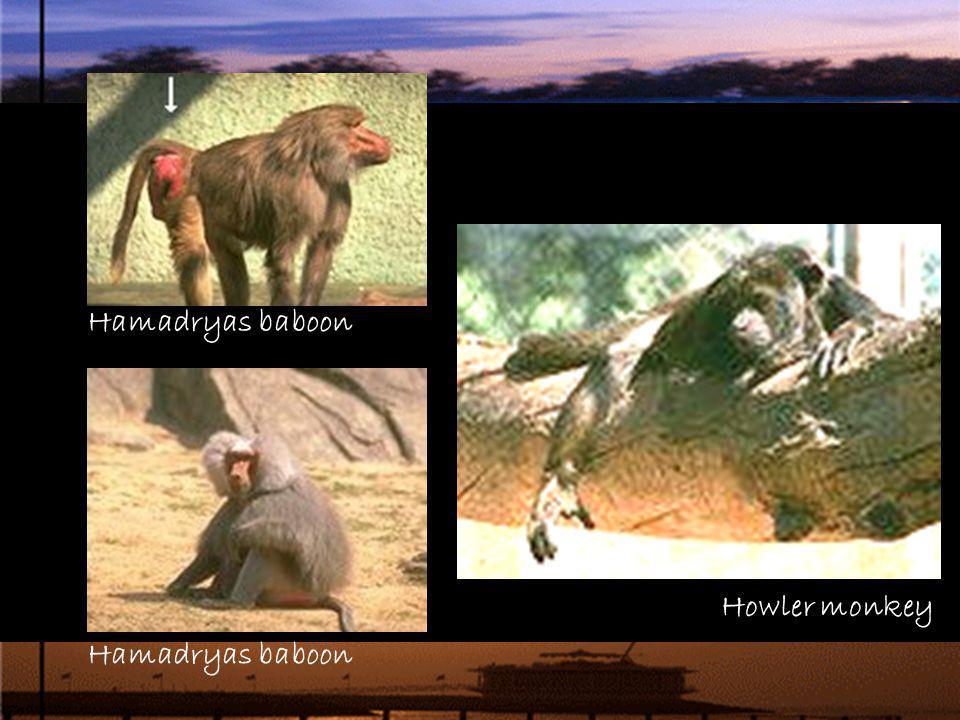 Hamadryas baboon Howler monkey Hamadryas baboon