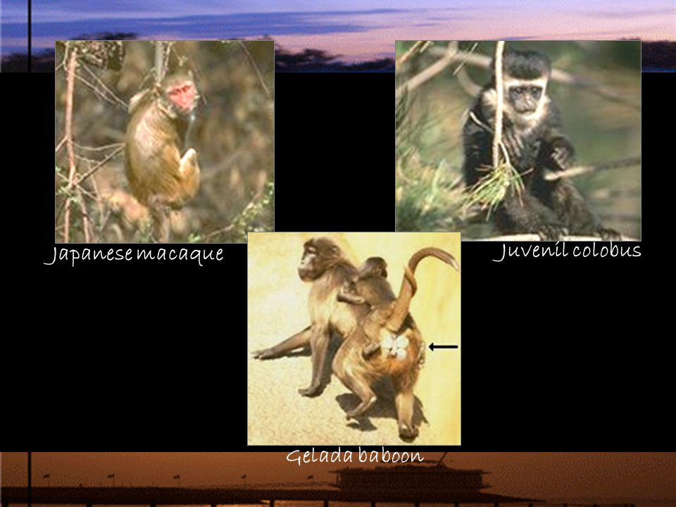 Japanese macaque Juvenil colobus Gelada baboon