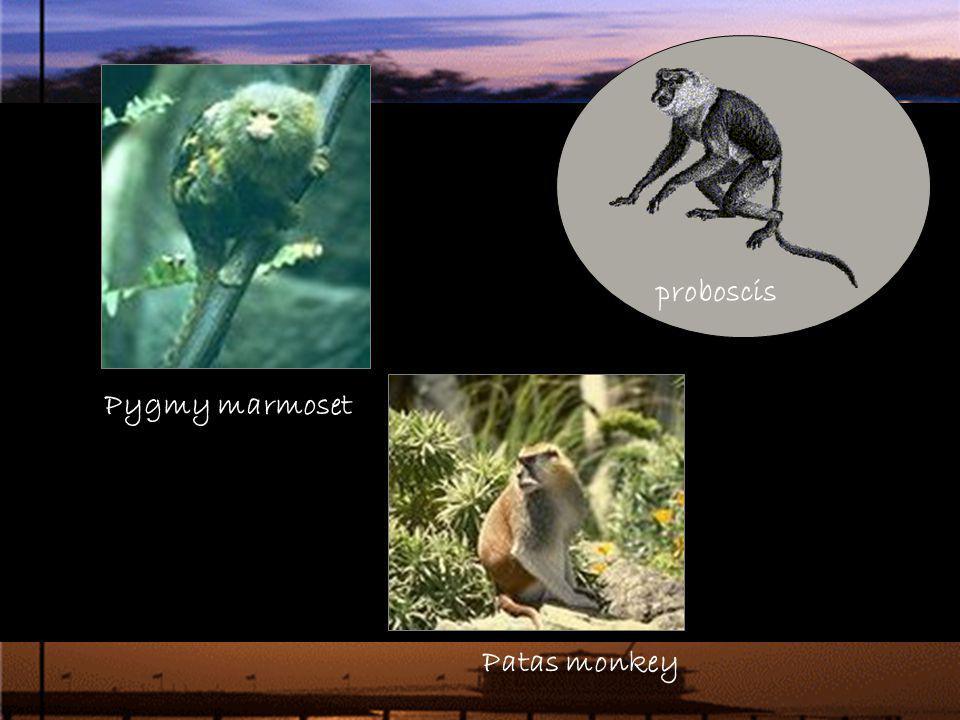 proboscis Pygmy marmoset Patas monkey