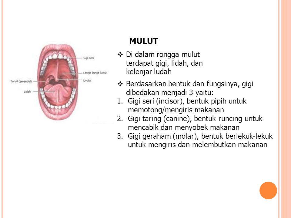 MULUT Di dalam rongga mulut terdapat gigi, lidah, dan kelenjar ludah