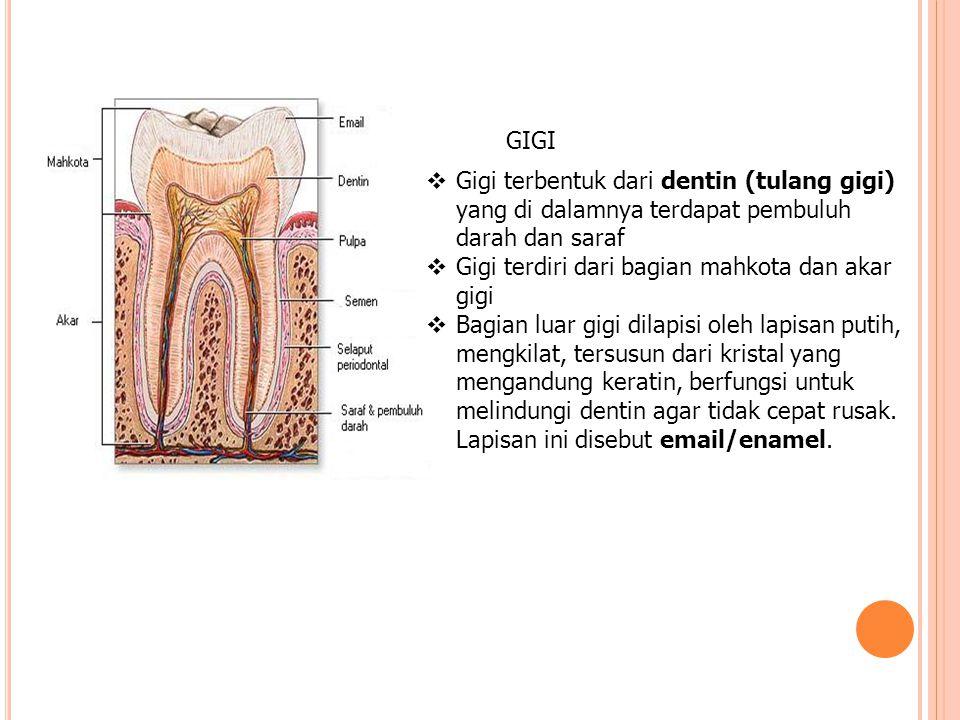 GIGI Gigi terbentuk dari dentin (tulang gigi) yang di dalamnya terdapat pembuluh darah dan saraf. Gigi terdiri dari bagian mahkota dan akar gigi.