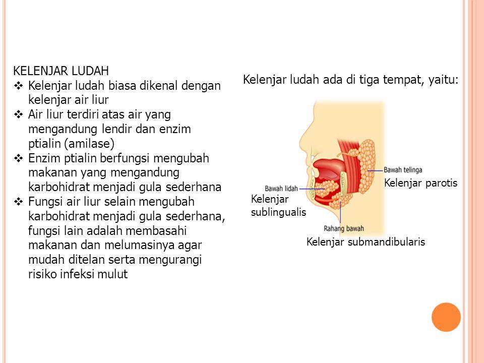 Kelenjar ludah biasa dikenal dengan kelenjar air liur