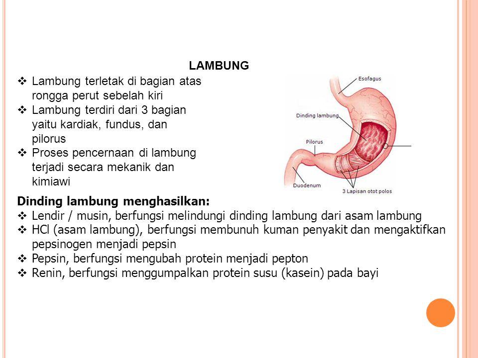 LAMBUNG Lambung terletak di bagian atas rongga perut sebelah kiri. Lambung terdiri dari 3 bagian yaitu kardiak, fundus, dan pilorus.
