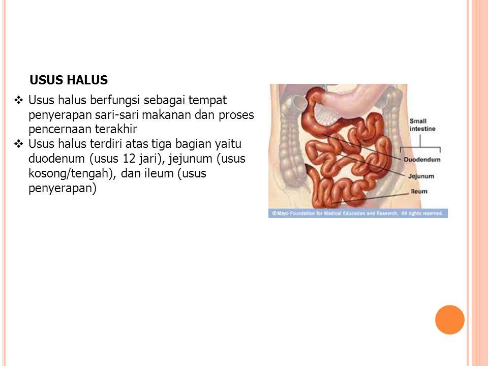USUS HALUS Usus halus berfungsi sebagai tempat penyerapan sari-sari makanan dan proses pencernaan terakhir.