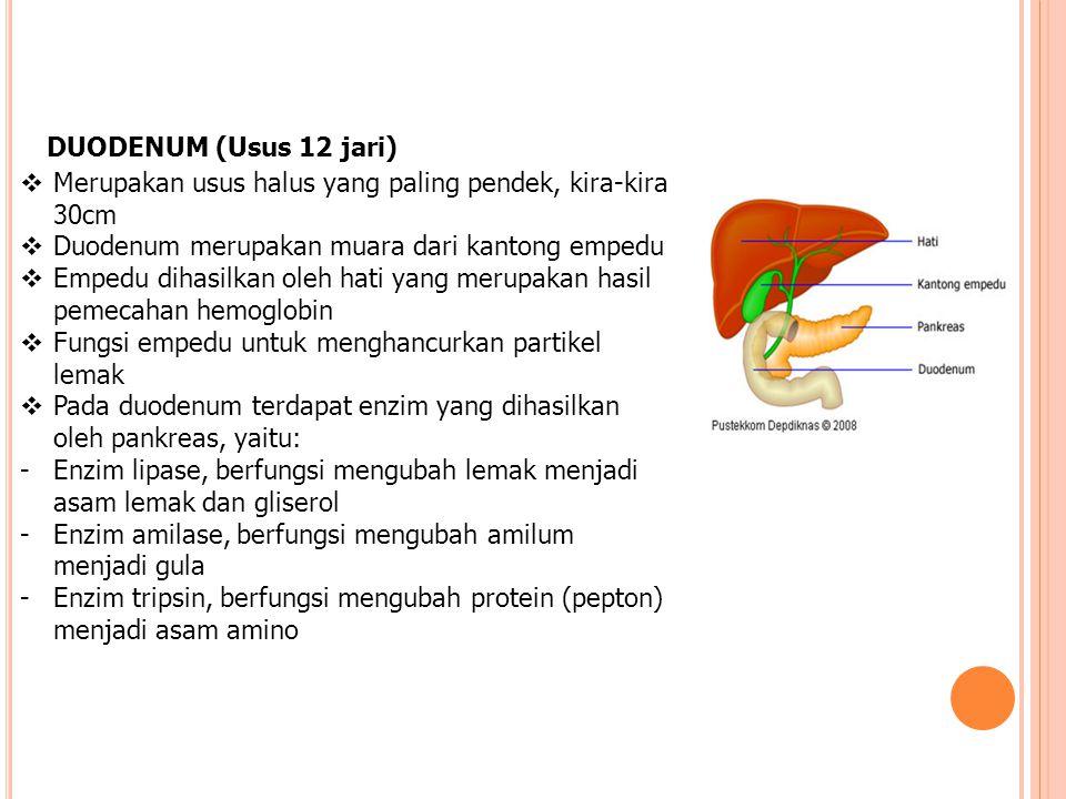 DUODENUM (Usus 12 jari) Merupakan usus halus yang paling pendek, kira-kira 30cm. Duodenum merupakan muara dari kantong empedu.