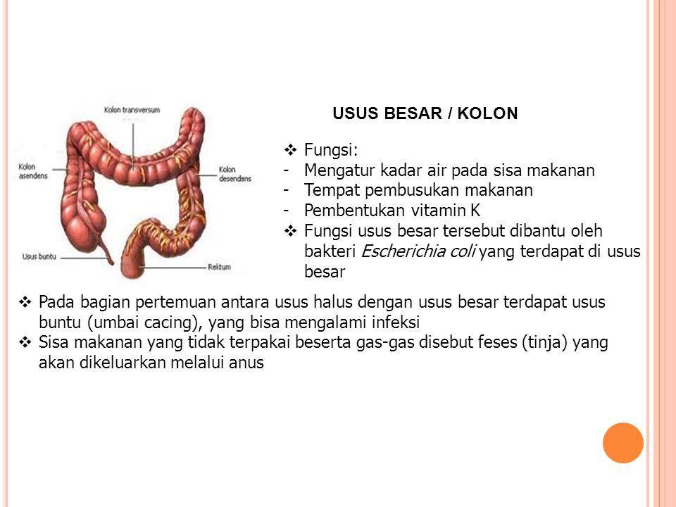 USUS BESAR / KOLON Fungsi: Mengatur kadar air pada sisa makanan. Tempat pembusukan makanan. Pembentukan vitamin K.