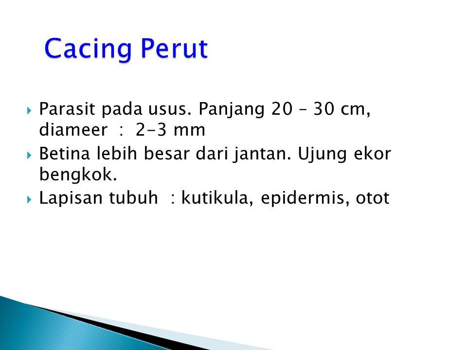 Cacing Perut Parasit pada usus. Panjang 20 – 30 cm, diameer : 2-3 mm