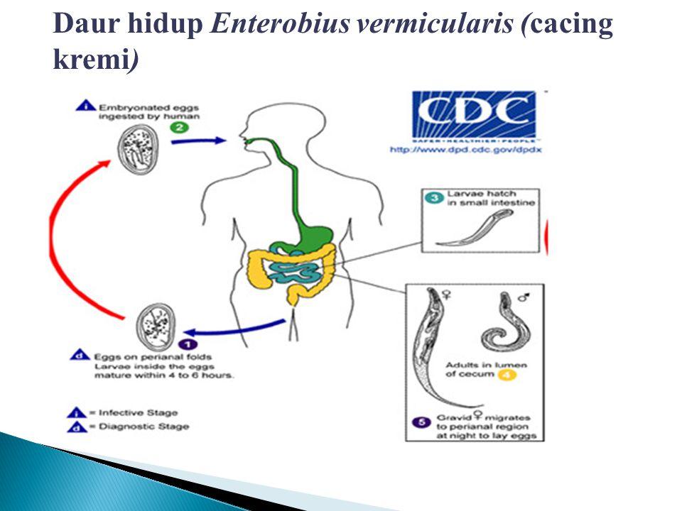 Daur hidup Enterobius vermicularis (cacing kremi)