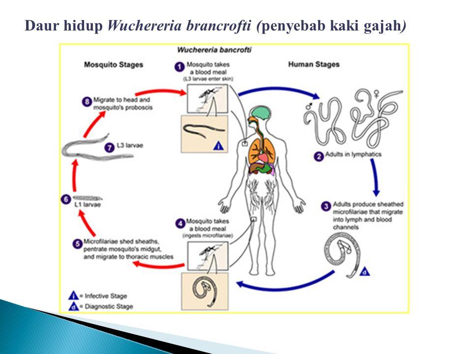 Daur hidup Wuchereria brancrofti (penyebab kaki gajah)