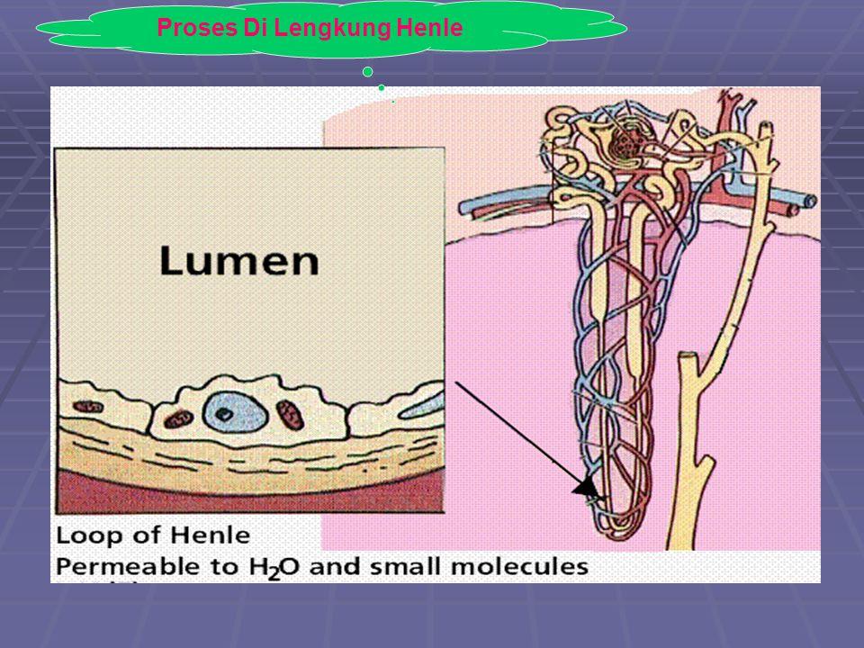 Proses Di Lengkung Henle