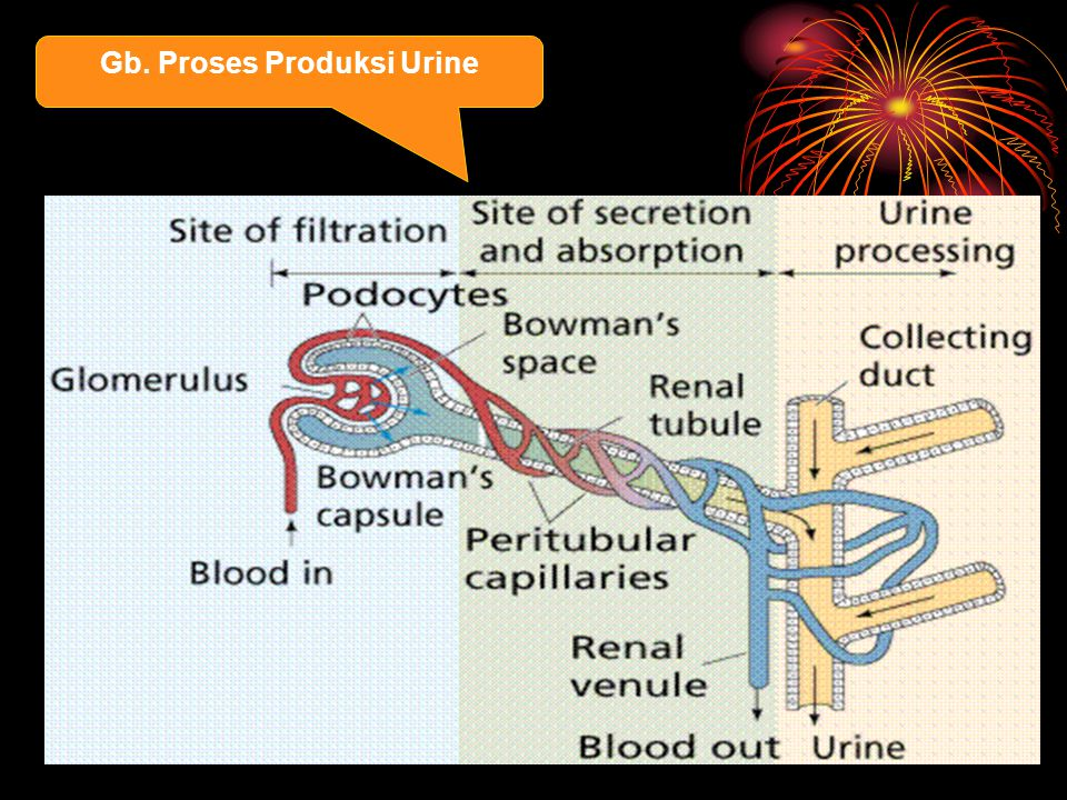 Gb. Proses Produksi Urine