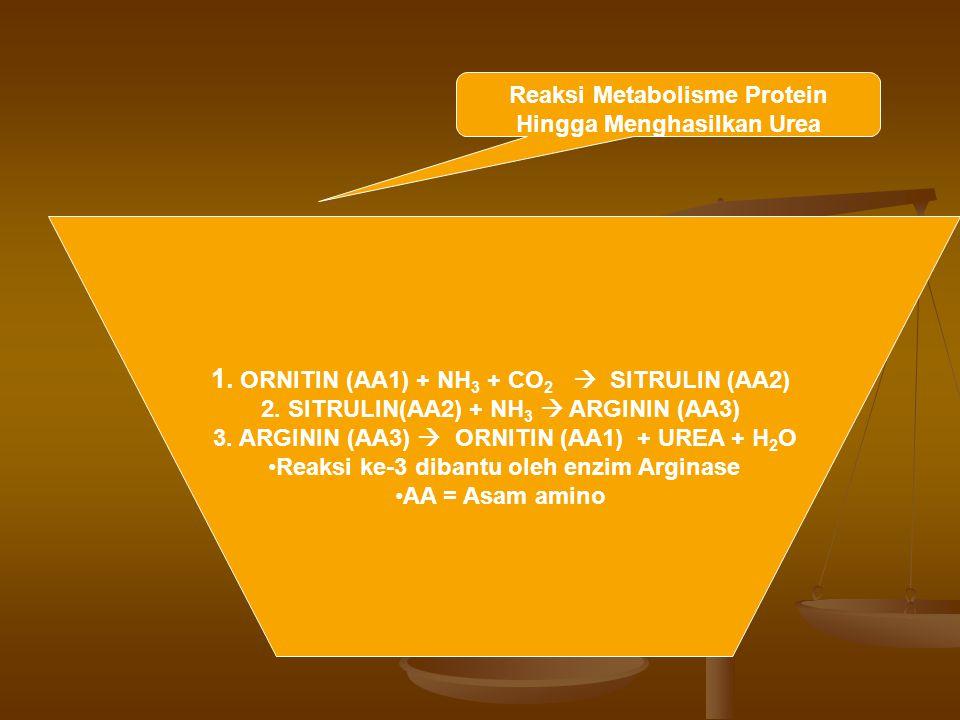 Reaksi Metabolisme Protein Hingga Menghasilkan Urea