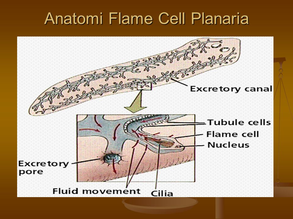 Anatomi Flame Cell Planaria