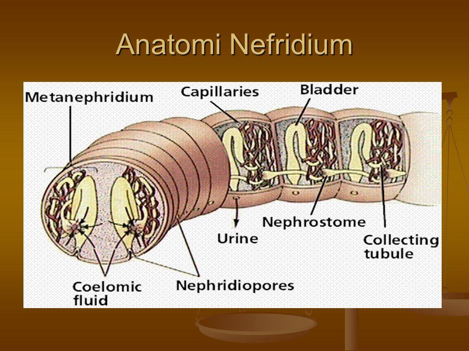 Anatomi Nefridium