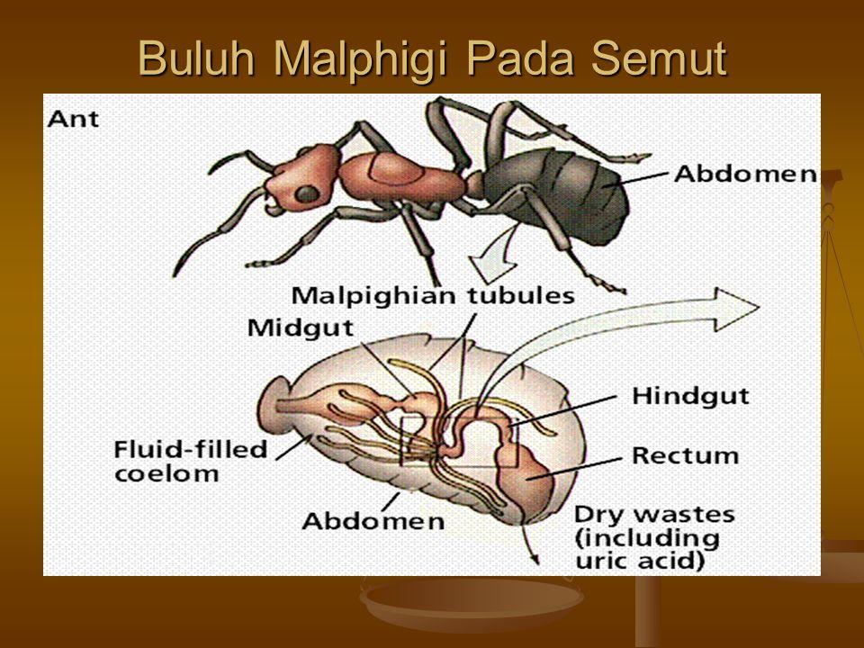 Buluh Malphigi Pada Semut