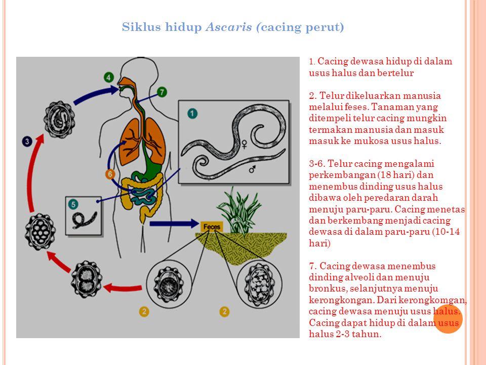 Siklus hidup Ascaris (cacing perut)