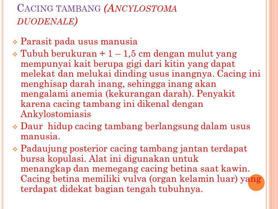 Cacing tambang (Ancylostoma duodenale)