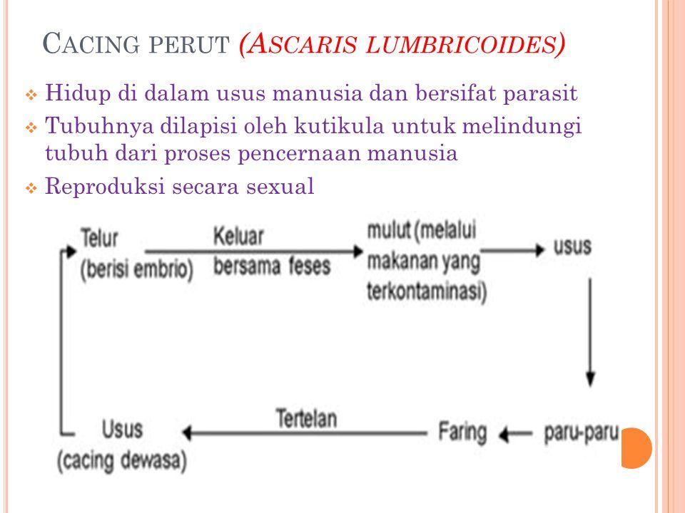 Cacing perut (Ascaris lumbricoides)