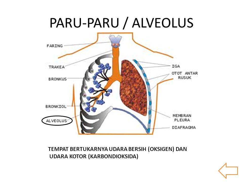 PARU-PARU / ALVEOLUS TEMPAT BERTUKARNYA UDARA BERSIH (OKSIGEN) DAN