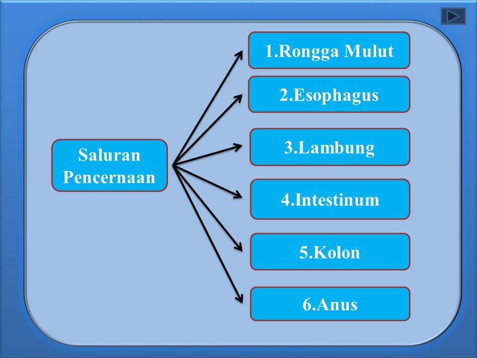 1.Rongga Mulut 2.Esophagus 3.Lambung Saluran Pencernaan 4.Intestinum 5.Kolon 6.Anus