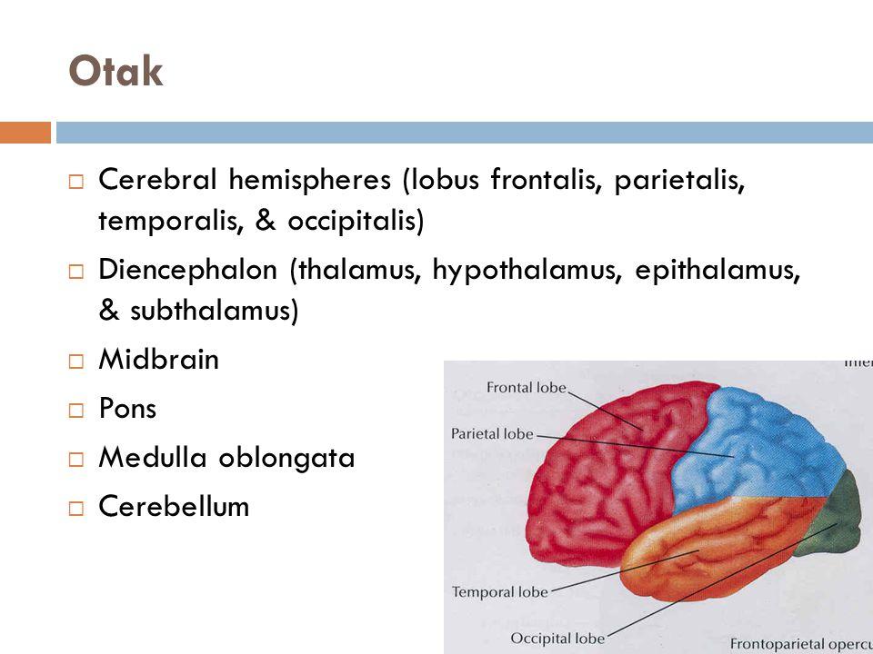 Otak Cerebral hemispheres (lobus frontalis, parietalis, temporalis, & occipitalis)
