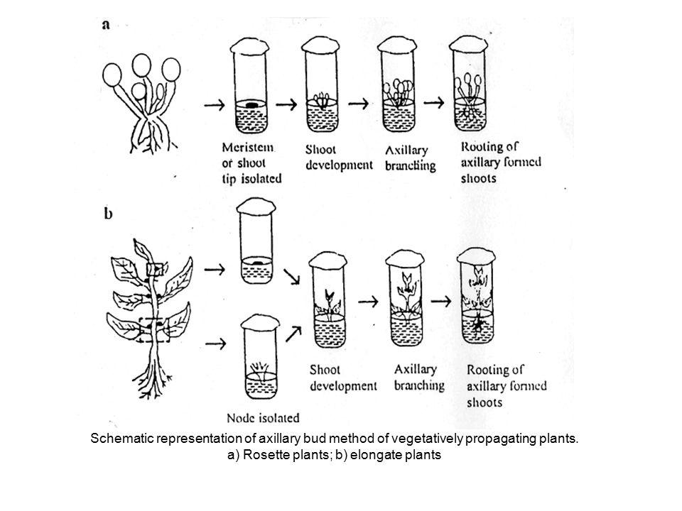 a) Rosette plants; b) elongate plants