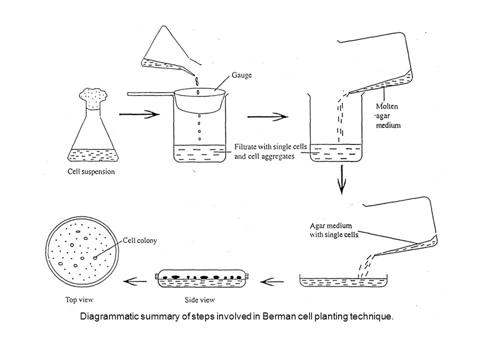 Diagrammatic summary of steps involved in Berman cell planting technique.