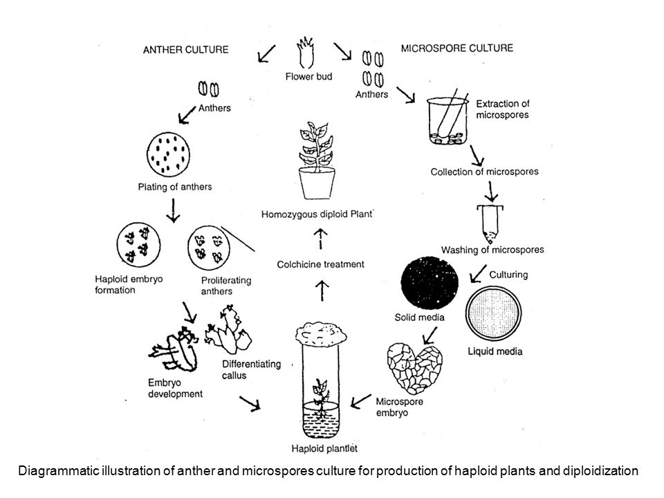 Diagrammatic illustration of anther and microspores culture for production of haploid plants and diploidization