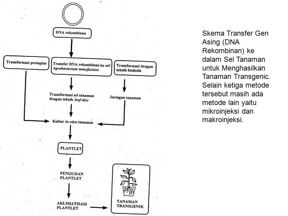 Skema Transfer Gen Asing (DNA Rekombinan) ke dalam Sel Tanaman untuk Menghasilkan Tanaman Transgenic.