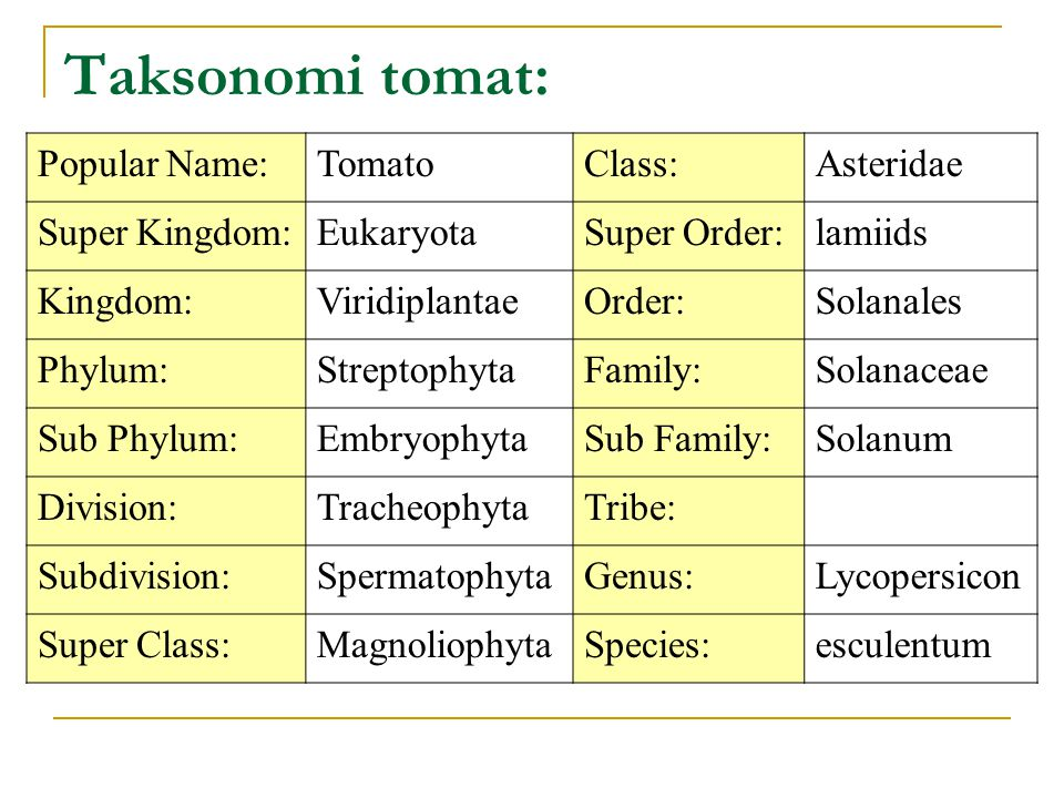 Taksonomi tomat: Popular Name: Tomato Class: Asteridae Super Kingdom: