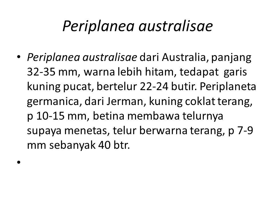 Periplanea australisae