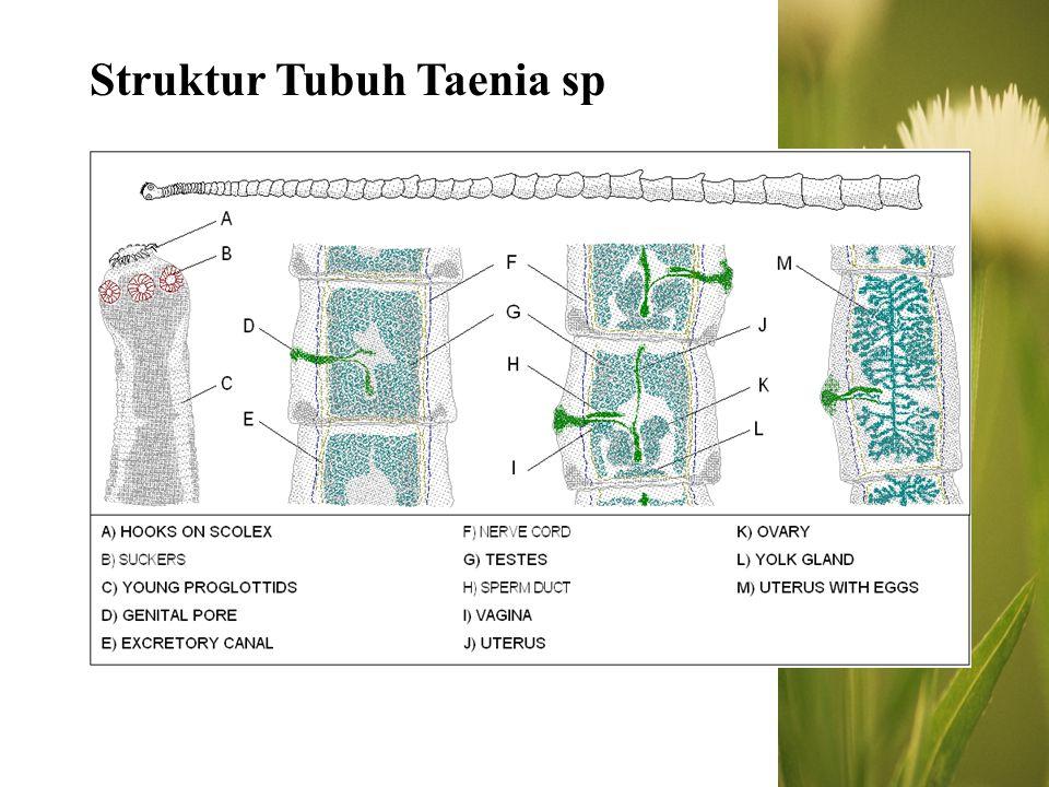 Struktur Tubuh Taenia sp