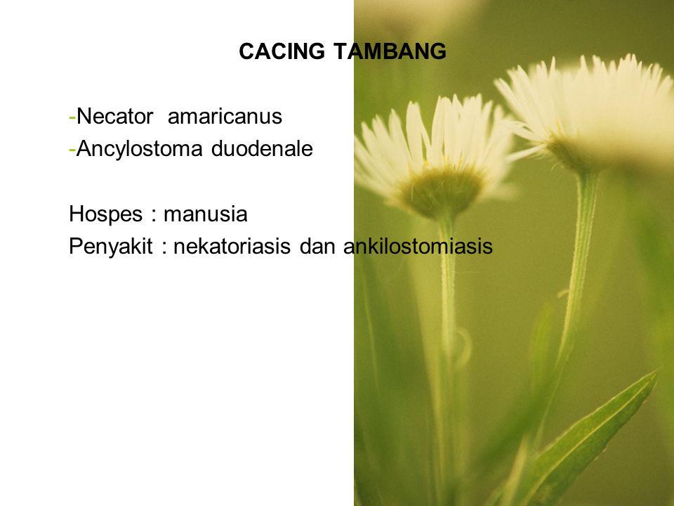 CACING TAMBANG Necator amaricanus. Ancylostoma duodenale.