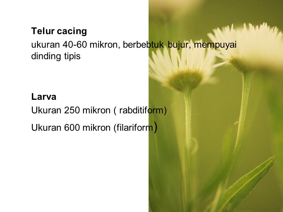 Telur cacing ukuran 40-60 mikron, berbebtuk bujur, mempuyai dinding tipis. Larva. Ukuran 250 mikron ( rabditiform)