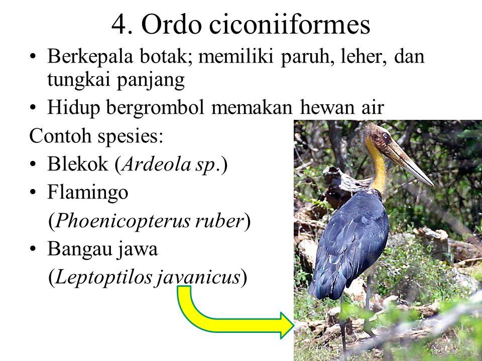 4. Ordo ciconiiformes Berkepala botak; memiliki paruh, leher, dan tungkai panjang. Hidup bergrombol memakan hewan air.